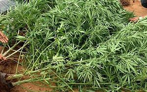 Đắk Nông: Trồng hàng trăm cây cần sa bị phát hiện