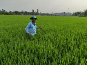 Thương lái đặt cọc mua lúa đông xuân từ 6.000 đồng/kg trở lên