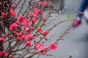 Những loài hoa báo hiệu Tết đến, Xuân về