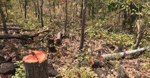 Gia Lai: Điều tra vụ phá rừng cộng đồng quy mô lớn