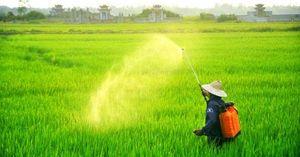 150ha lúa vụ đông xuân Quảng Trị nhiễm đạo ôn