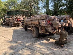 Lâm tặc vừa chặt cây, chủ rừng nói gỗ đã mục nát