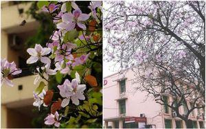 Tháng 2 này, đẹp nao lòng với ngôi trường ở Hà Nội nở rộ sắc tím hoa ban
