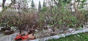 Vùng cao xứ Huế sắp có rừng hoa đào từ những gốc đào cảnh trưng Tết