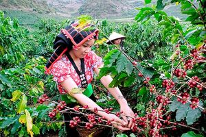 Giá cà phê hôm nay 27/2: Dứt chuỗi tăng ấn tượng, Robusta vẫn trên đỉnh, trong nước còn mốc 33.000 đồng/kg