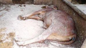 Hà Tĩnh: Bùng phát bệnh viêm da nổi cục trên trâu bò