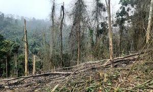 Rừng phòng hộ đầu nguồn bị tàn phá để… trồng keo