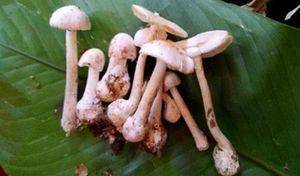 Sơn La: Cả gia đình nhập viện do ngộ độc nấm