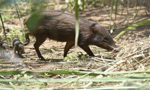 Nỗ lực giải cứu loài lợn lùn quý hiếm