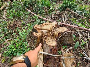 Dọn cây ngã đổ do bão rồi chặt luôn cây lâu năm ở rừng phòng hộ đem bán