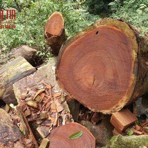 Xác minh nơi khai thác gỗ nghiến trái phép tại Tuyên Quang