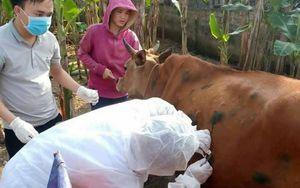 Quảng Bình tiêm vaccine phòng bệnh viêm da nổi cục trên gia súc