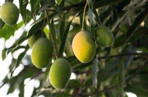 Người đàn ông cho ra đời cây xoài 300 giống khác nhau nổi tiếng khắp Ấn Độ