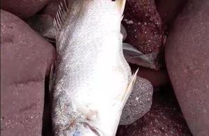 Vụ cá chết dọc bờ biển tại Nghệ An: Chất lượng nước biển không có dấu hiệu bất thường