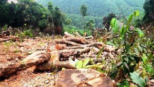 Xử phạt gần 38 triệu đồng đối tượng 'triệt hạ' hơn 2.500m² rừng tự nhiên