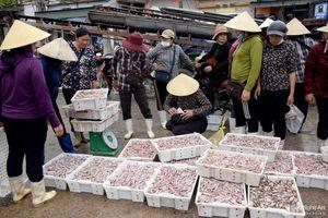 Mực 'luộc tươi' trên tàu cá giúp ngư dân Nghệ An lãi hàng trăm triệu một chuyến biển