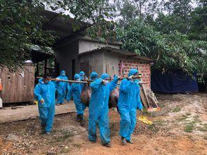 Minh Hóa: Tiêu hủy trên 70 con lợn bị dịch tả lợn châu Phi