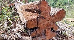Khó khăn trong ngăn chặn phá rừng Tây Nguyên