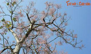 Truyền thuyết ly kỳ về cây ngô đồng ở Cố đô Huế