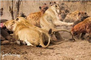 Linh cẩu 'hổ báo' cướp mồi của sư tử