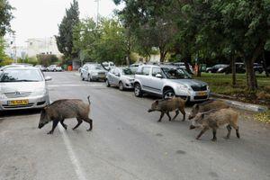 Thành phố của Israel nơi con người sống cùng với lợn rừng