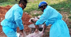 Xuất hiện dịch tả lợn Châu Phi gần biên giới Việt - Lào