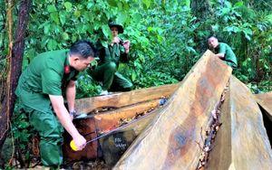 Cảnh cáo Hạt trưởng Kiểm lâm huyện để rừng pơ-mu bị tàn phá