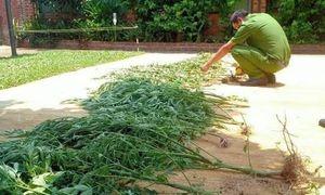 Người phụ nữ trồng cần sa để uống cho khỏi mất ngủ