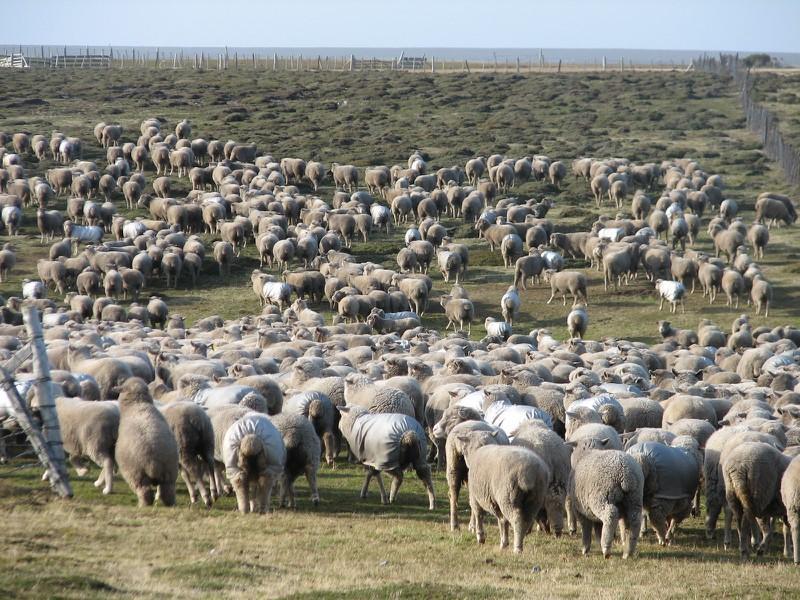 Độc đáo hòn đảo có cừu nhiều gấp gần 170 lần dân số