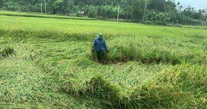 Quảng Bình: Mưa lớn, đường biến thành sông, hàng ngàn ha lúa đổ sập
