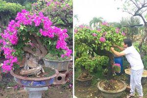 Mẹo trồng hoa giấy lâu tàn, rộ hoa quanh năm
