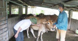 Bệnh viêm da nổi cục lan tới Lai Châu