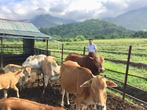 Lai Châu: Hàng loạt gia súc bị viêm da nổi cục bất thường