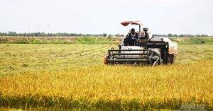 Liên kết trồng 4.000ha lúa hữu cơ, VietGAP