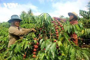 Giá cà phê hôm nay 8/5: Thị trường điều chỉnh sau đợt tăng nóng, trong nước trung bình 34.000 đồng/kg