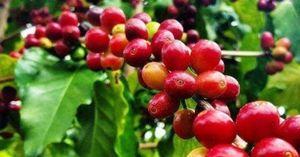 Giá cà phê hôm nay 8/5: Thị trường cà phê quay đầu giảm