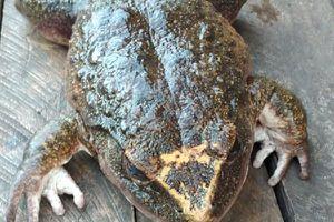 Dân làng kinh ngạc phát hiện con ếch khổng lồ to bằng người