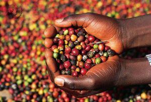 Giá cà phê hôm nay tiếp đà giảm mạnh, cao nhất còn 33.600 đồng/kg