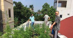 9X ở Hà Nội mở 'nông trại' cần sa trên mái nhà