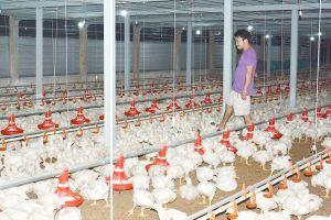 Ngành chăn nuôi lao đao, nông dân thiệt hại