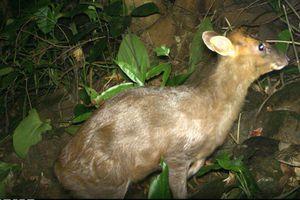 Bẫy ảnh 'tóm' nhiều động vật hiếm thấy ở Thừa Thiên - Huế