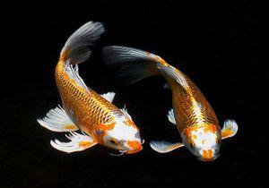 Loài cá xa xỉ của Nhật Bản
