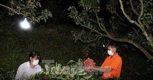 Nông dân Bắc Giang trắng đêm thu hoạch vải thiều