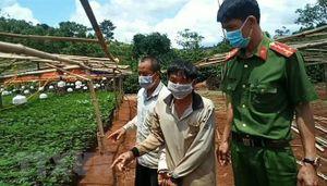 Công an Đắk Nông phát hiện vườn trồng cần sa hơn 2.600 cây