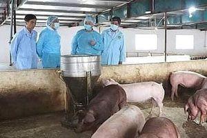 Long An: Phát hiện ổ dịch tả lợn châu Phi đầu tiên