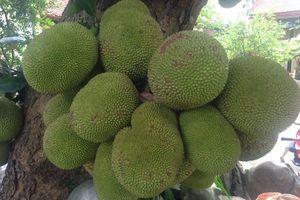 Choáng váng vườn cây quả sai trĩu, nông dân Việt thu tiền tỷ