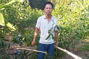Rẫy keo 4.000 cây ở Nghệ An bị kẻ xấu chặt ngang gốc