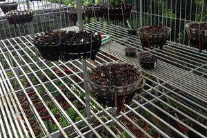 50 giò lan quý trị giá hơn 2 tỷ đồng bị trộm 'khoắng sạch' sau một đêm ở Phú Thọ