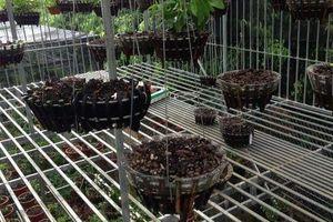 Phú Thọ: Kẻ trộm 50 giò lan tiền tỷ có thể đối diện mức án 20 năm tù