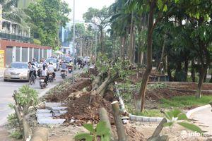 Người dân Trích Sài nói gì về việc di chuyển cây hoa sữa lên trồng tại Nam Sơn